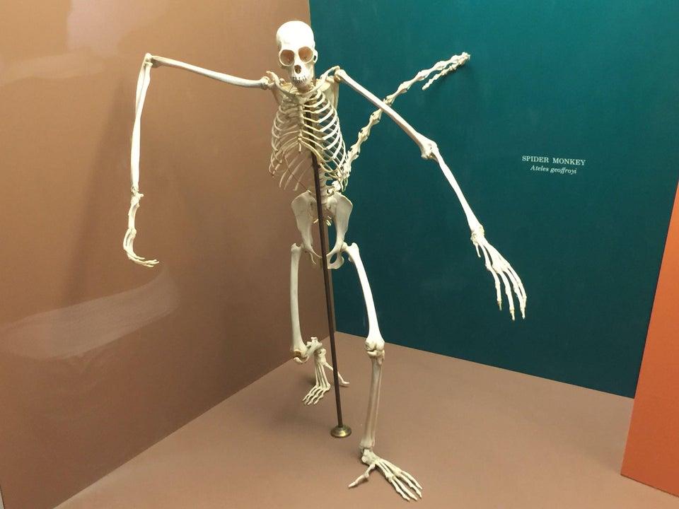 一具蜘蛛猴的骨架