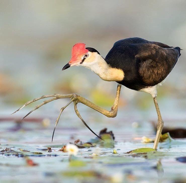 雉鸻科的鸟具有很夸张的爪子