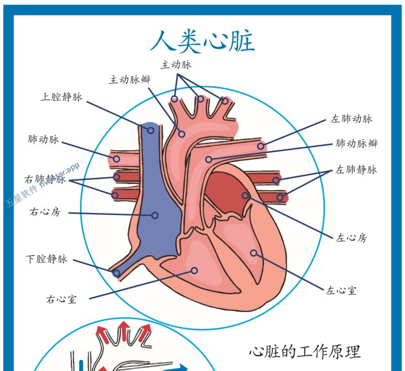 Twinkl-小学高年级-科学-人类心脏结构简易图展示海报